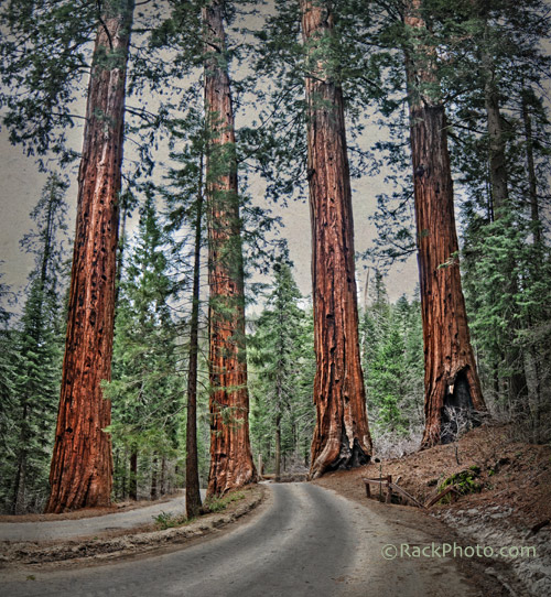 4 sequoias guarding the roadway